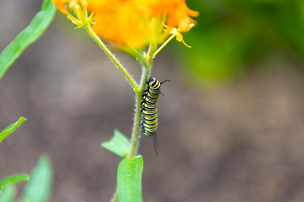 monarch catepillar swamp milkweed